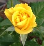 Twin Rose